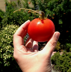 The First, Juicy, Red Tomato From My Organic Container Gardens